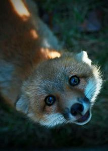fox 01